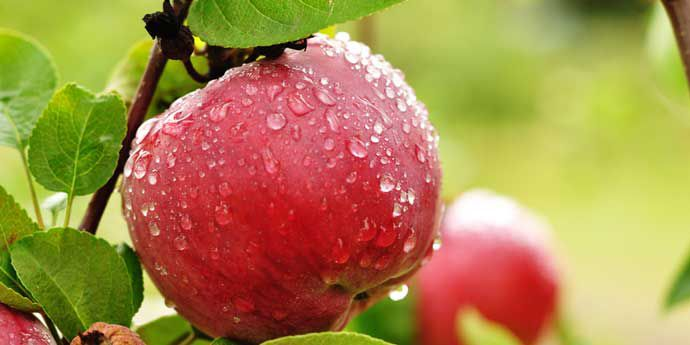 Talendo® - providing excellent control of powdery mildew in apples