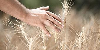 un agricoltore attento ed orgoglioso del proprio lavoro ispeziona il campo di grano prossimo alla raccolta. Con la mano in primo piano accarezza una spiga
