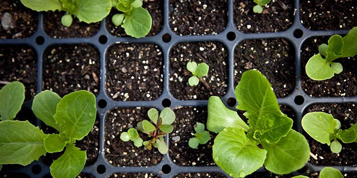 An overhead shot of young plants spring up out of soil.