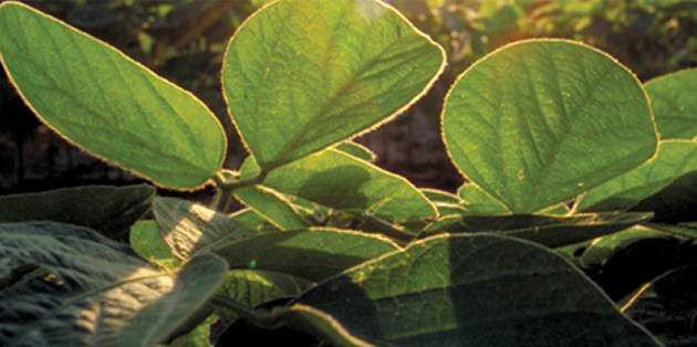 Classic® herbicide provides postemergence control of key weeds in soybeans.