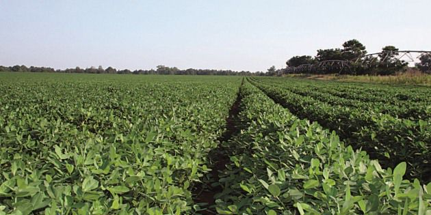 The right peanut disease control program helps growers optimize production.