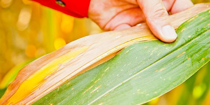 Gray leaf spot can reduce corn yield