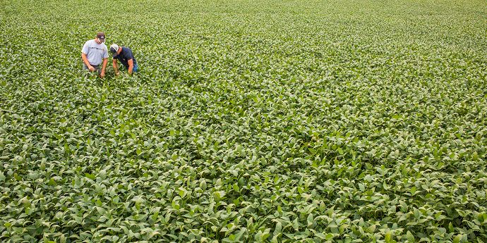 Grower and agronomist scout for disease in soybeans