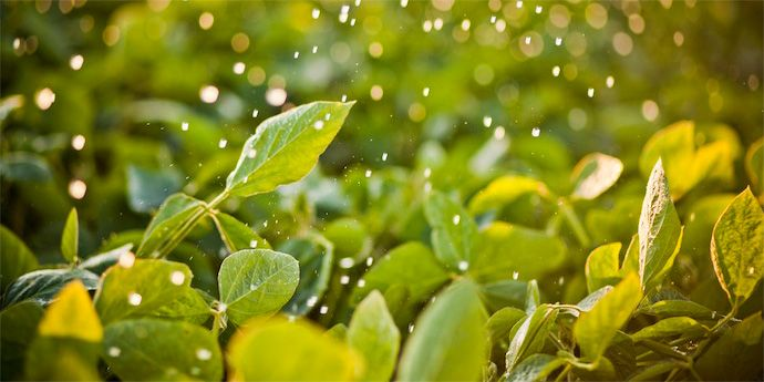 Disease management with Aproach® helps control soybean white mold.