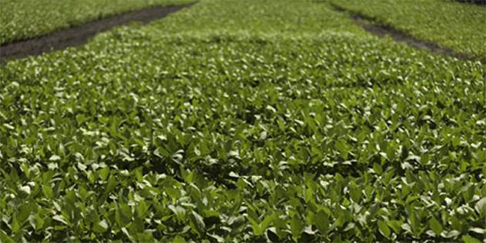 LeadOff® herbicide provides exceptional crop rotation options and allows planting into a clean seedbed.