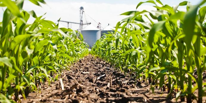 DuPont™ Realm® Q herbicide provides excellent postemergence broadleaf weed control in corn.