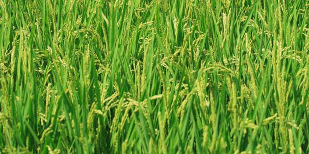 DuPont offer effective control of sedges in rice